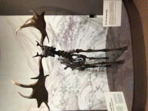 The Giant Deer or Irish Elk